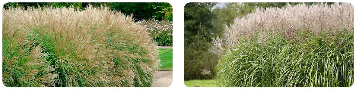 Miscanthus & Elephant Grass